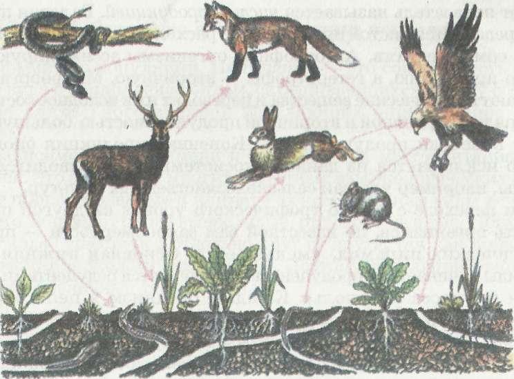 Цепи питания экосистемы